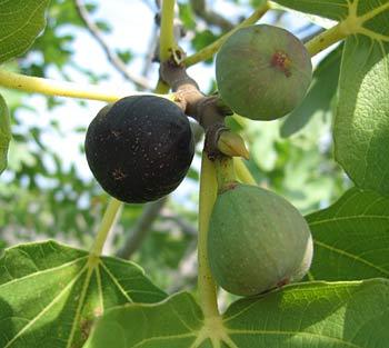 Figs. (novala)