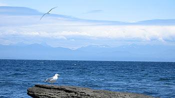 Seagulls. (novala)