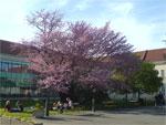 wenn frühling und sommer gleichzeitig kommen: judasbaum im AKH -> click für grosses bild
