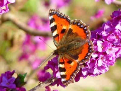 https://pixabay.com/photos/butterfly-little-fox-aglais-urticae-43008/